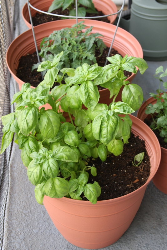 This basil looks like it's ready to turn into pesto!  I can practically taste dinner already.