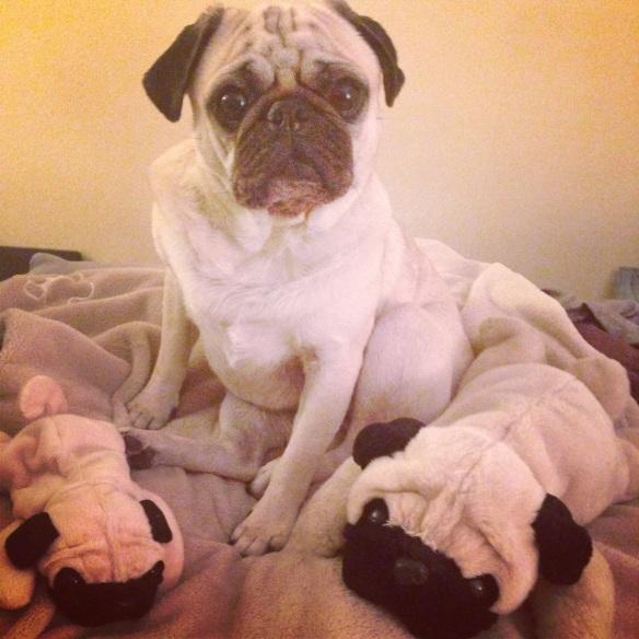 3 pugs in a rug